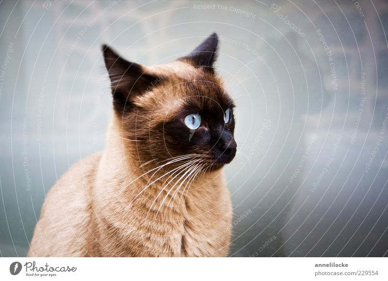Blue Beautiful Animal Cat Ear Pet Whisker Cat's head Eye colour