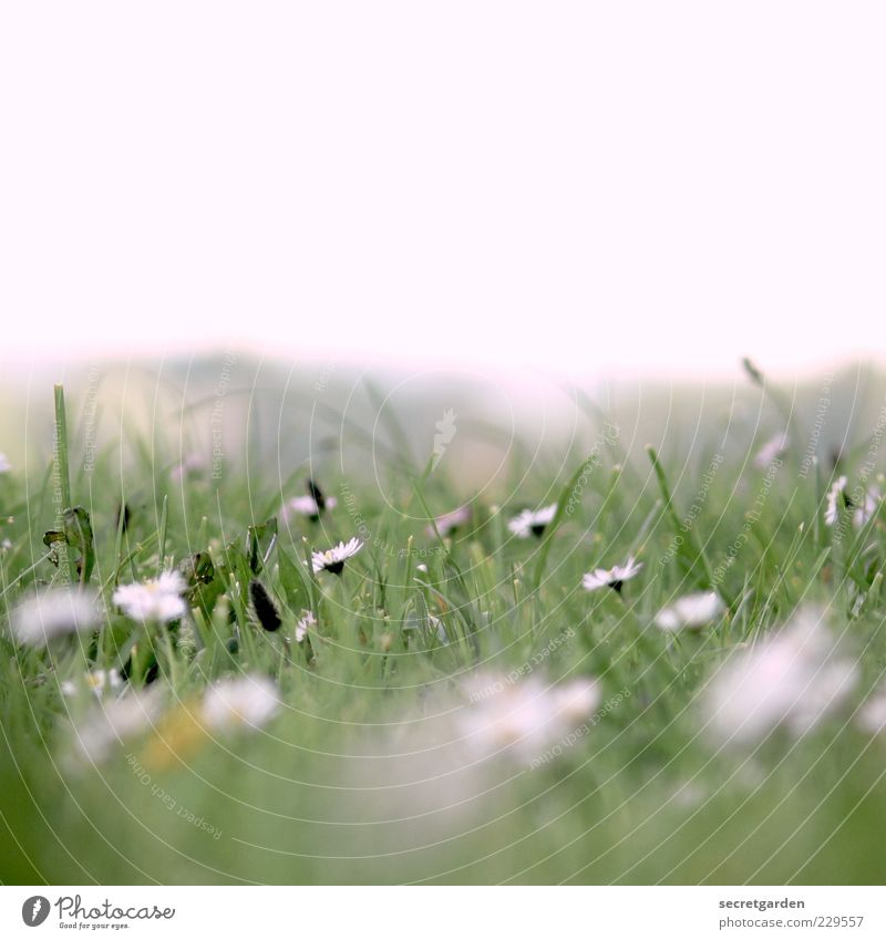 Sky Nature White Green Plant Summer Flower Relaxation Meadow Grass Fresh Blossoming Fragrance Daisy Spring fever