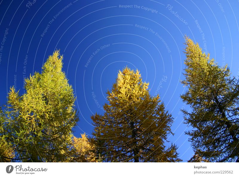 Golden Autumn Environment Nature Plant Sky Cloudless sky Beautiful weather Tree Larch Forest Esthetic Blue Yellow Green Contentment Power Colour photo