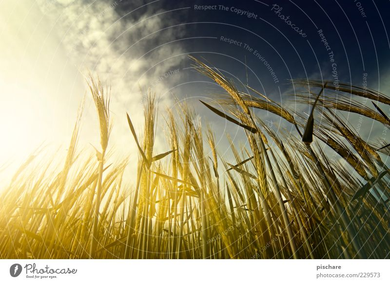 Sky Nature Clouds Yellow Field Gold Natural Growth Agriculture Ear of corn Crops Barley Sunbeam Plant Deep depth of field Agricultural crop