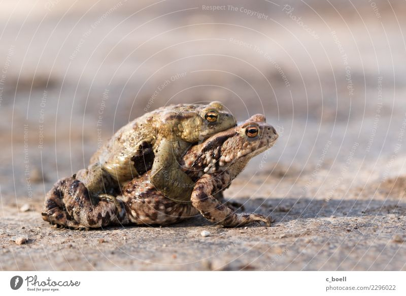 hike Environment Nature Animal Wild animal Frog Painted frog Toad migration 2 Pair of animals Crouch Love Hiking Together Brown Spring fever Love of animals