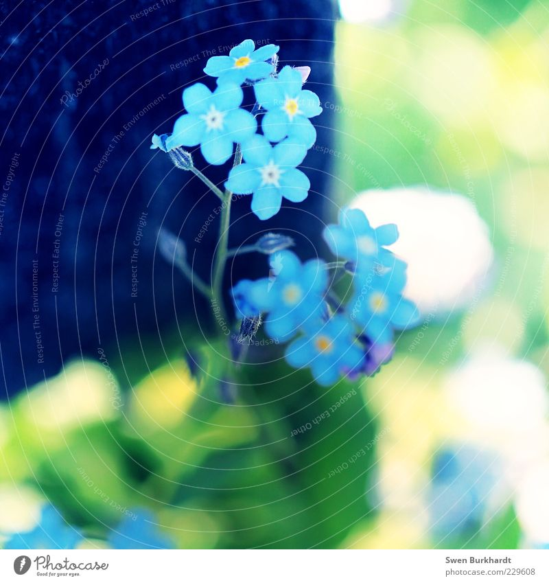 forget-me-not Environment Nature Plant Summer Flower Leaf Blossom Foliage plant Wild plant Forget-me-not Fragrance Beautiful Natural Blue Yellow Green