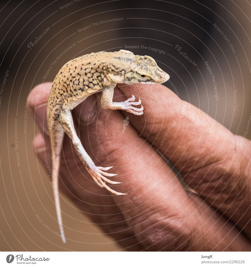 balancing act Far-off places Nature Animal Desert Namib desert lizard 1 Exceptional Determination Love of animals Contact Concentrate Vacation & Travel Africa