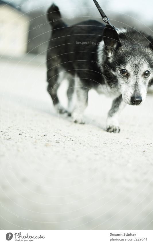 buck Animal Pet Movement Walking Old Gray-haired Dog lead Resistance Listlessness Small Animal portrait Close-up Full-length Looking Looking into the camera