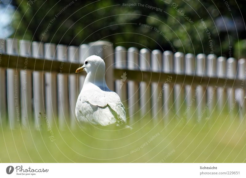 seagull enclosure Summer Beautiful weather Grass Meadow North Sea Baltic Sea Island Animal Bird 1 Looking Green White Seagull Silvery gull Fence Fence post