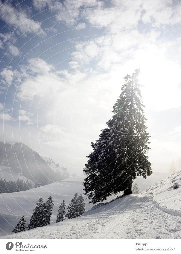 oh tannenbaum... Winter Snow Mountain Environment Nature Landscape Plant Clouds Sun Sunlight Fog Tree Forest Hill Rigi Blue Black White Colour photo
