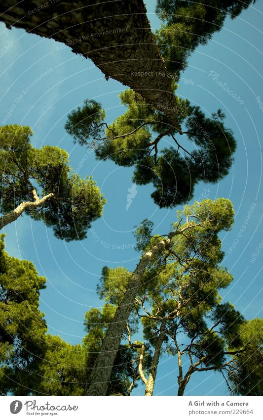 way up above Environment Nature Sky Beautiful weather Tree Park Growth Exotic Fantastic Gigantic Blue Green Attachment Tall Branch Mediterranean Stone pine