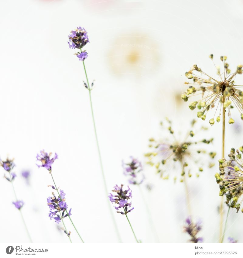 Plant Exceptional Bright Blossoming Transience Simple Passion Lavender Faded