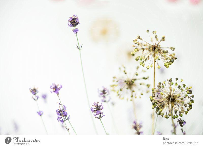Plant Summer Blossom Growth Blossoming Effort Lavender