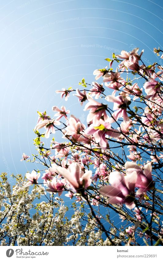 Sky Nature Blue White Tree Plant Summer Environment Blossom Warmth Spring Moody Bright Pink Climate Growth