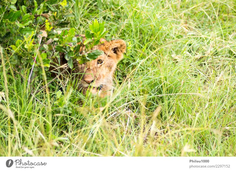 Young lion hidden in the scrub Safari Baby Man Adults Mother Group Nature Animal Virgin forest Fur coat Cat Small Natural Wild Dangerous Africa Kenya Masai Mara