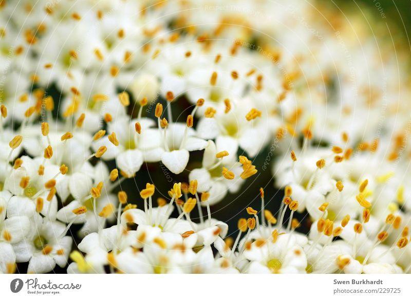 pollen carpet Fragrance Environment Nature Plant Summer Flower Blossom Blossoming Faded Yellow White Spring fever Exotic Fragrant Odor Pollen Pistil