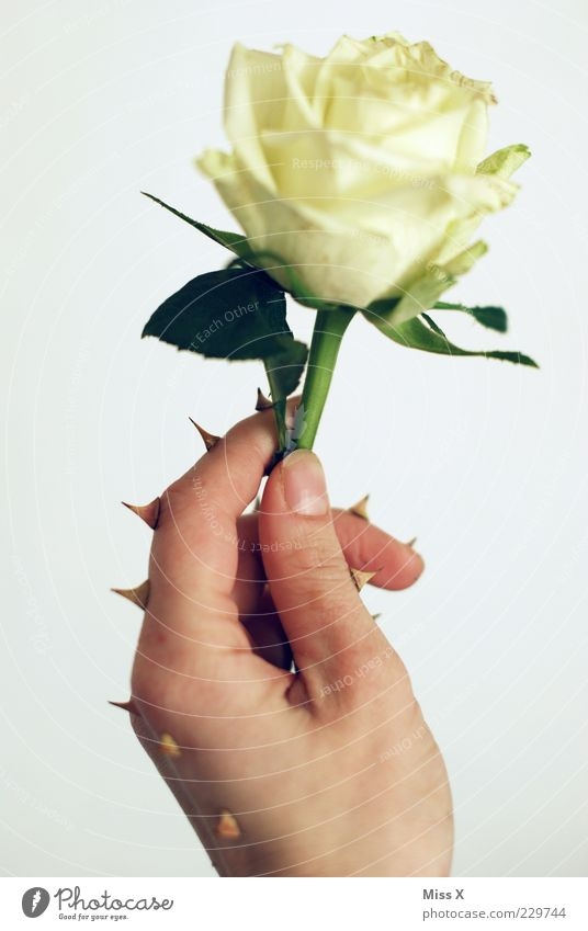 Hand White Plant Flower Leaf Blossom Fingers Growth Exceptional Rose Point Stop Protection Blossoming Stalk Whimsical