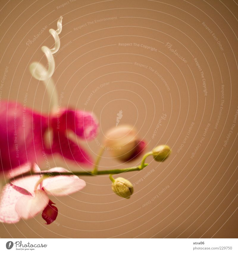 twists Plant Flower Orchid Blossom Pot plant Exotic Elegant Brown Pink Colour photo Copy Space right Copy Space top Neutral Background Deserted Bud Stalk Spiral