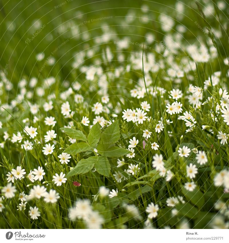 spring meadow Environment Nature Plant Spring Beautiful weather Flower Grass Meadow Blossoming Natural Green White Happy Happiness Joie de vivre (Vitality)
