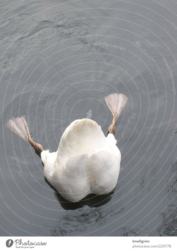 Deep Nature Water Animal Swan Mute swan 1 To feed Dive Esthetic Fluid Wet Gray White paddle feet Head first Foraging Webbing Colour photo Subdued colour