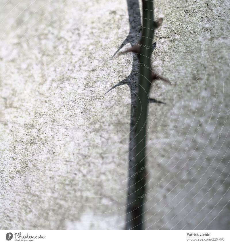 Nature Plant Wall (building) Gray Wall (barrier) Concrete Growth Rose Point Thin Long Stalk Twig Caution Thorny