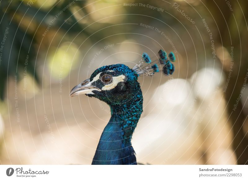 A beautiful peacock with a soft background Elegant Nature Animal Garden Park Meadow Field Forest Virgin forest Wild animal 1 Esthetic Natural Curiosity Cute