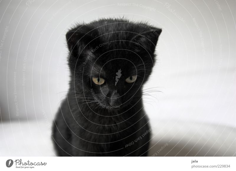 My little black cat. Animal Pet Cat Animal face Pelt 1 Baby animal Small Black White Colour photo Interior shot Deserted Copy Space left Copy Space right
