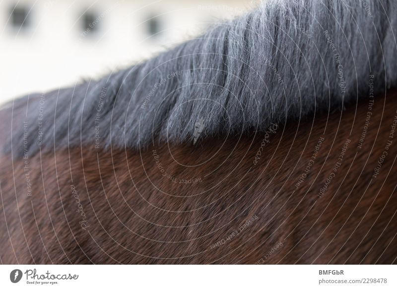 to cuddle Sports Equestrian sports Ride Animal Pet Farm animal Horse 1 Authentic Brown Black Mane Parts of body Detail Hair and hairstyles Groomed Pelt