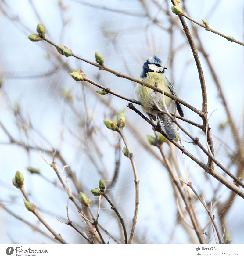 spring awakening Spring Beautiful weather Bird Tit mouse 1 Animal Observe Small Natural Cute Positive Contentment Longing Beginning Idyll