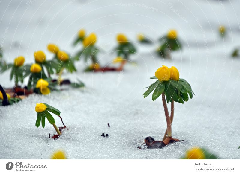 Nature Beautiful Plant Winter Snow Ice Frost Blossoming Stalk Flower Thaw Spring flowering plant Eranthis hyemalis