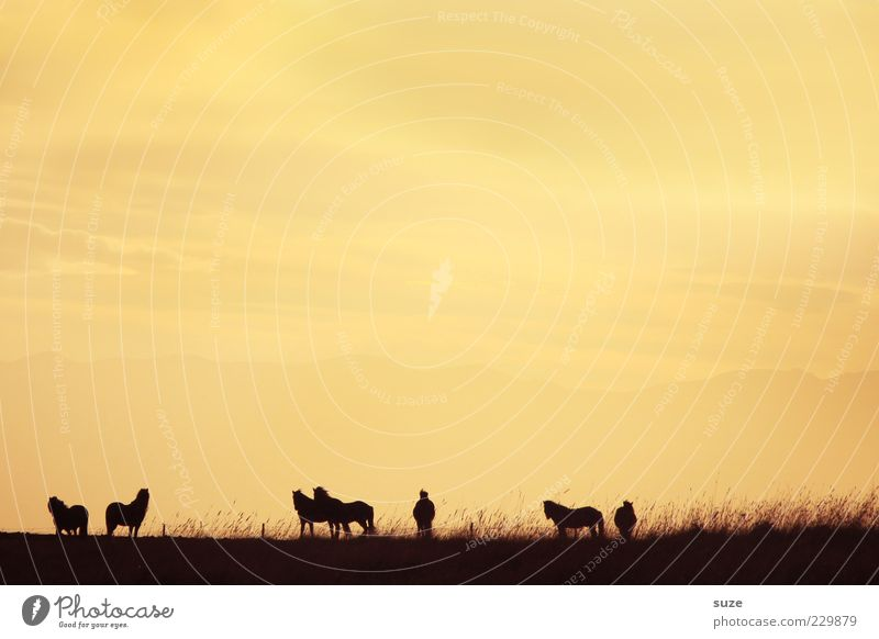 shadowy existence Sky Grass Animal Horse Group of animals Herd Free Infinity Natural Beautiful Yellow Moody Together Romance Iceland Pony Pasture Dusk