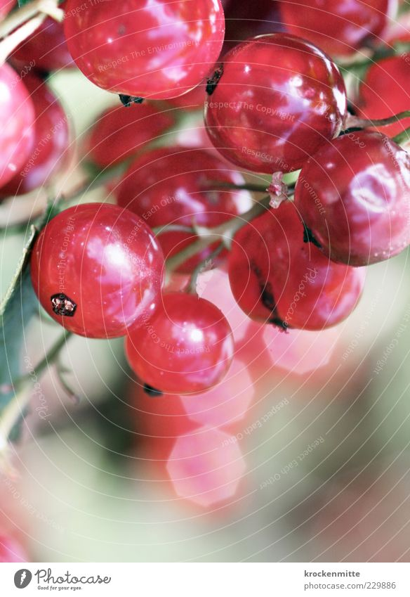 sweet & sour Nature Plant Berries Fresh Pink Red Redcurrant Round Circle Glare effect Stalk Berry bushes Sweet Sour Garden Reflection Fruit Fruity Colour photo