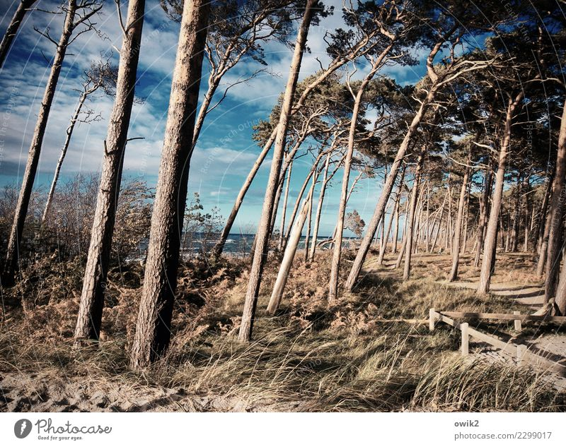 Up and down Environment Nature Landscape Plant Sky Clouds Horizon Autumn Beautiful weather Wind Tree Bushes Wind cripple Forest Beach Baltic Sea Western Beach