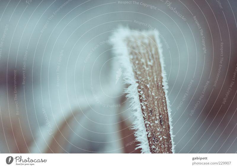 last winter picture this season Nature Plant Ice Frost Snow Grass Leaf Cold Gloomy Wild Blue Winter Ice crystal Blade of grass Frozen Structures and shapes