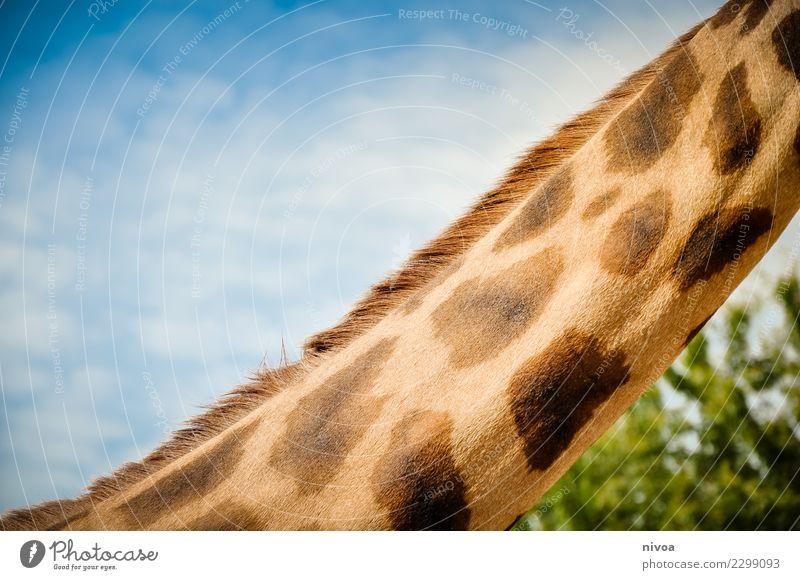 hansguckindieluft5 Environment Nature Landscape Plant Animal Beautiful weather Tree Wild animal Animal face Zoo Giraffe giraffe's neck 1 Pack Observe Movement
