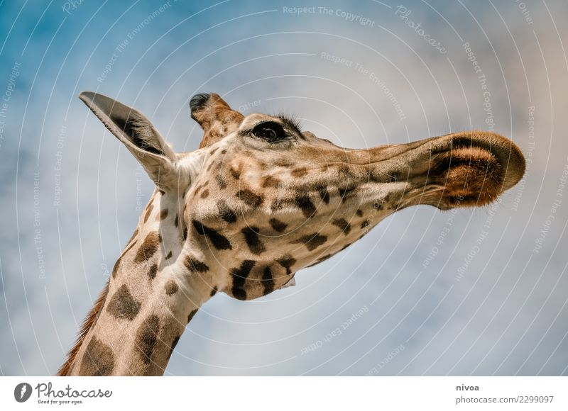 hansguckindieluft6 Environment Nature Landscape Plant Animal Beautiful weather Wild animal Animal face Zoo Giraffe 1 Observe Movement Discover To feed Looking