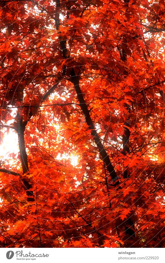 autumn Nature Old Beautiful Tree Plant Red Leaf Forest Autumn Environment Emotions Warmth Art Gold Fire Esthetic