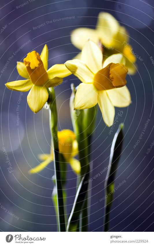 Ringing for Easter Plant Spring Flower Blossom Narcissus Yellow Green Blossoming Deploy X-rayed Wild daffodil Patch Bouquet Blossom leave Stalk Calyx Bud