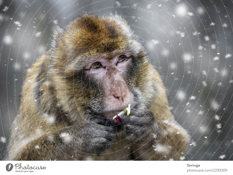 monkey food Winter Weather Bad weather Snow Animal Wild animal Animal face Pelt Claw Paw Animal tracks Zoo 1 Flying Looking Monkeys Snowfall Colour photo