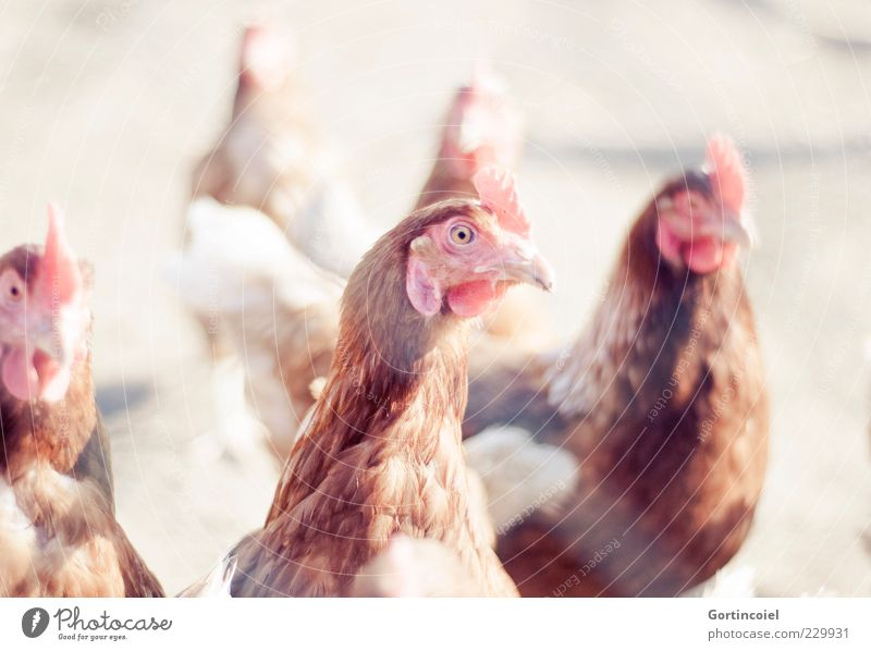 chicken Animal Farm animal Bird 3 Bright Gamefowl Crest Barn fowl Free-range rearing Organic produce Beautiful weather Poultry Feather Colour photo