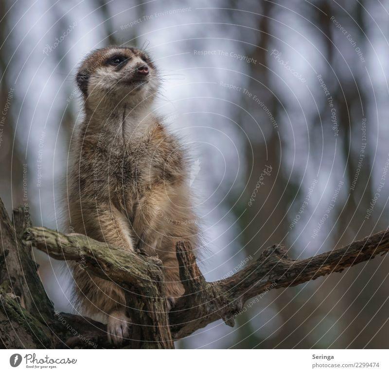 Animal Wild animal Pelt Zoo Animal face Paw Claw Meerkat