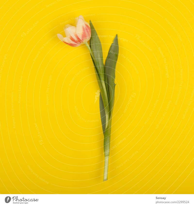 Beautiful tulip on yellow paper, top view Summer Decoration Nature Plant Flower Tulip Leaf Blossom Growth Fresh Natural Retro Yellow Pink Red Romance Colour