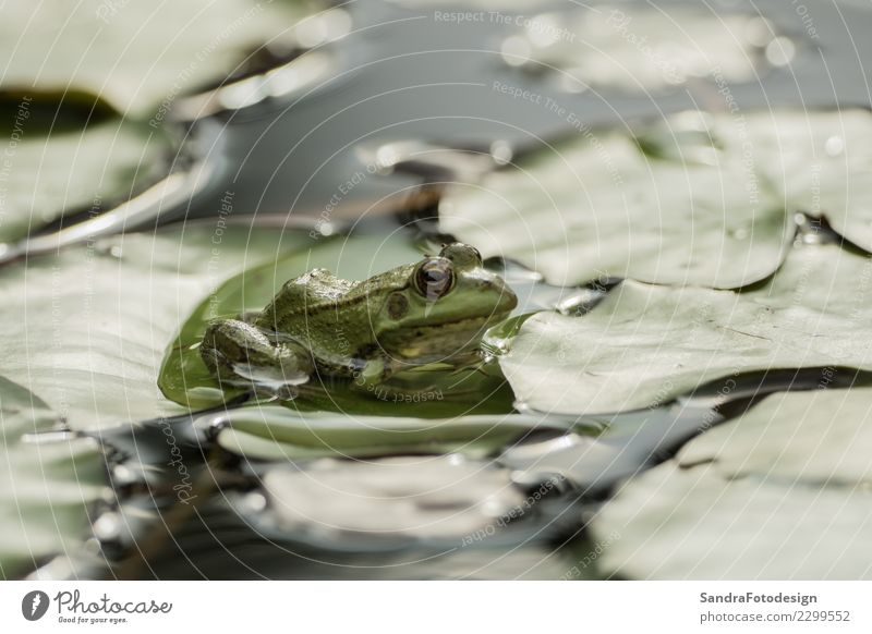 A green frog sitting in the pond full of water lilies Nature Summer Animal Leaf Joy Life Environment Background picture Spring Happy Swimming & Bathing Lake