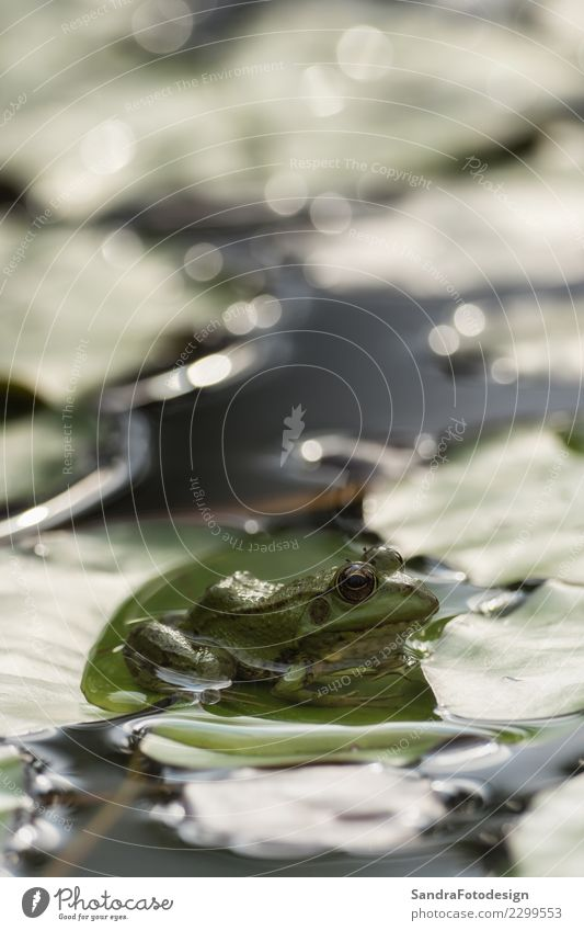 A green frog sitting in the pond full of water lilies Life Swimming pool Summer Environment Nature Animal Spring Climate Beautiful weather Bog Marsh Pond Lake