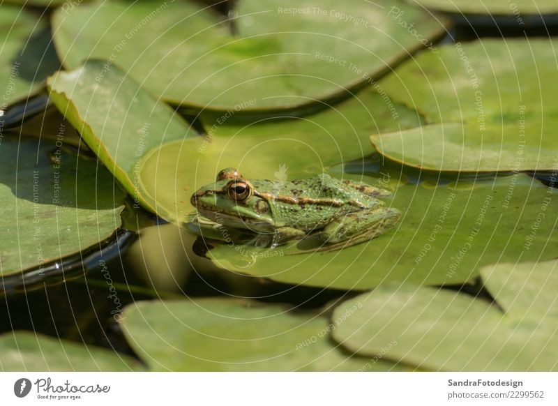 A green frog sitting in the pond full of water lilies Life Swimming pool Summer Nature Animal Water Sun Spring Park Lakeside River bank Pond Brook Wild animal