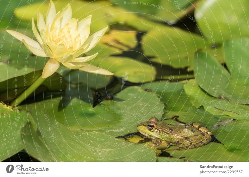 A green frog sitting in the pond full of water lilies Life Swimming pool Summer Nature Animal Water Spring Park Bog Marsh Pond Lake Brook River Wild animal Frog