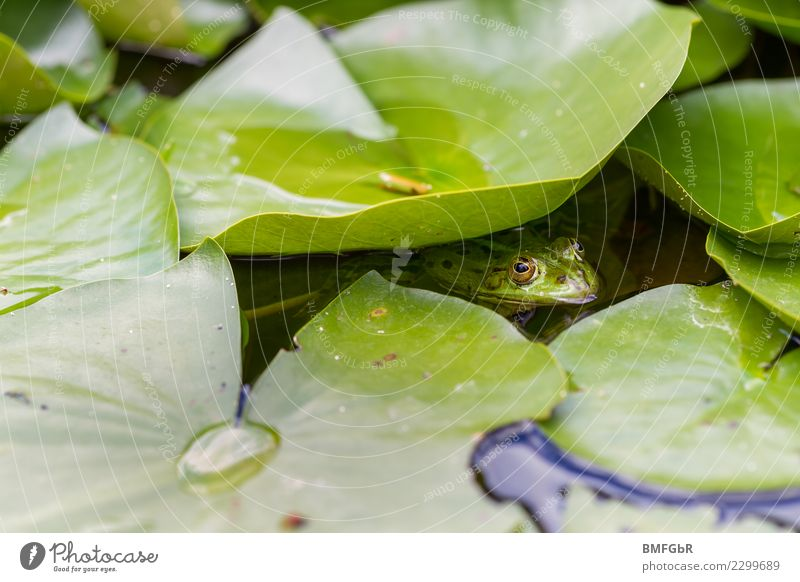 Frog in the pond Environment Nature Landscape Plant Animal Water Spring Summer Leaf Water lily Aquatic plant Garden Park Bog Marsh Pond Lake Wild animal