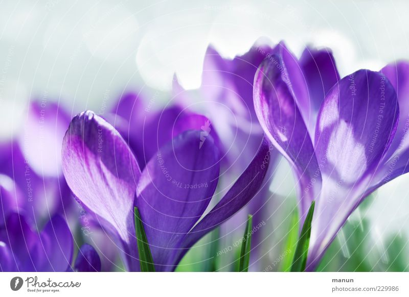violet Nature Spring Flower Blossom Crocus Spring flower Fantastic Bright Beautiful Natural Violet Spring fever Fragrance Colour photo Exterior shot Close-up