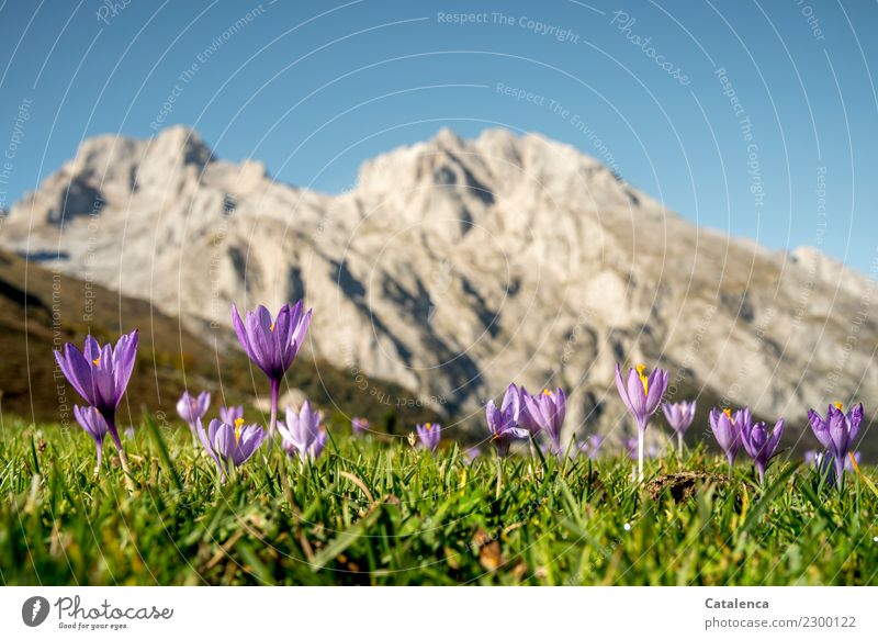 mountain flowers Summer vacation Mountain Hiking Plant Cloudless sky Beautiful weather Flower Grass Blossom Crocus Meadow Peak Blossoming Fragrance Faded