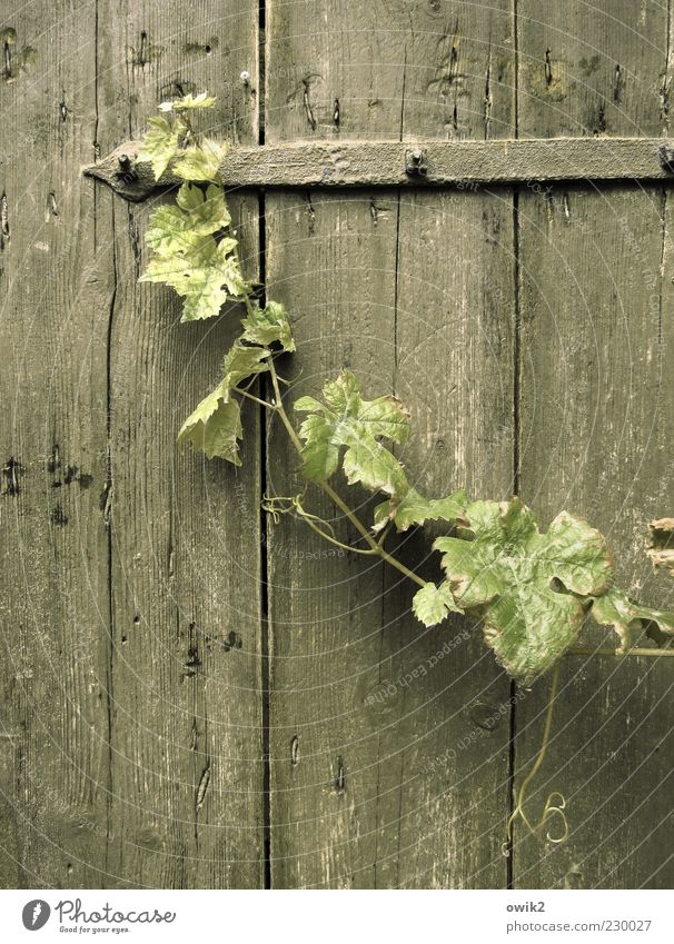 Old cellar door Nature Plant Leaf Vine leaf Vine tendril Hang Faded Growth Simple Elegant Uniqueness Long Thin Wild Gray Green Patient Calm Grief Idyll