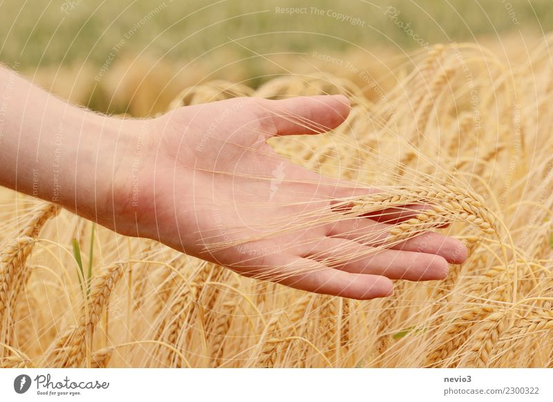 Hand holds barley ears Grain Beautiful Agricultural crop Grain field Grain harvest Barley Meadow Fresh Healthy Yellow Gold Fingers Painting (action, work)