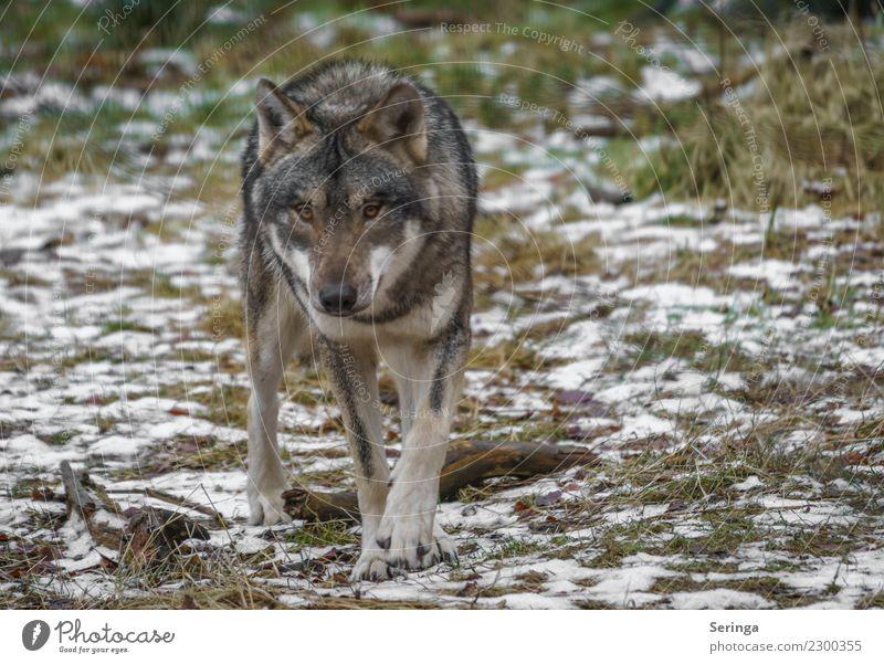 Dog Animal Movement Wild animal Pelt Zoo Animal face Paw Wolf