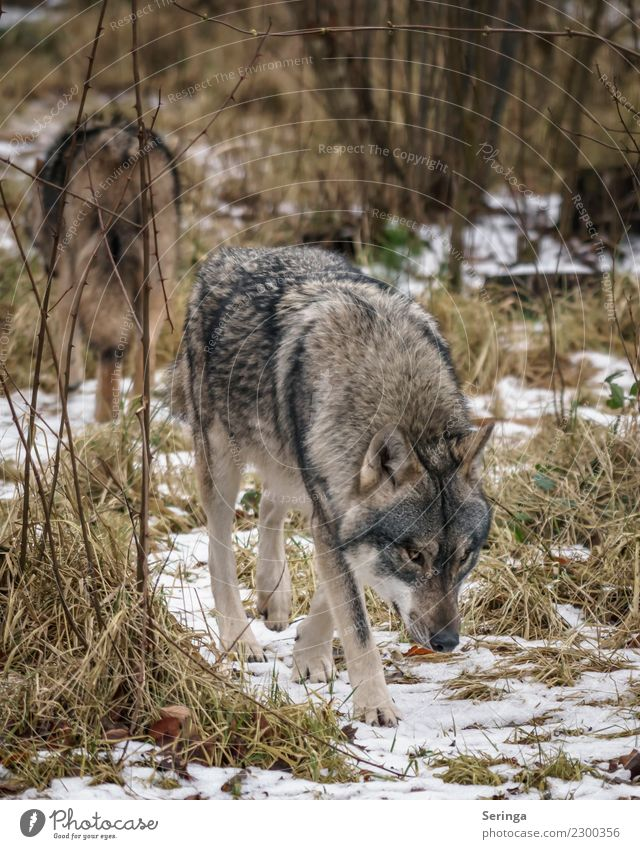 Dog Animal Pair of animals Wild animal Pelt Zoo Animal face To feed Paw Wolf Animal tracks