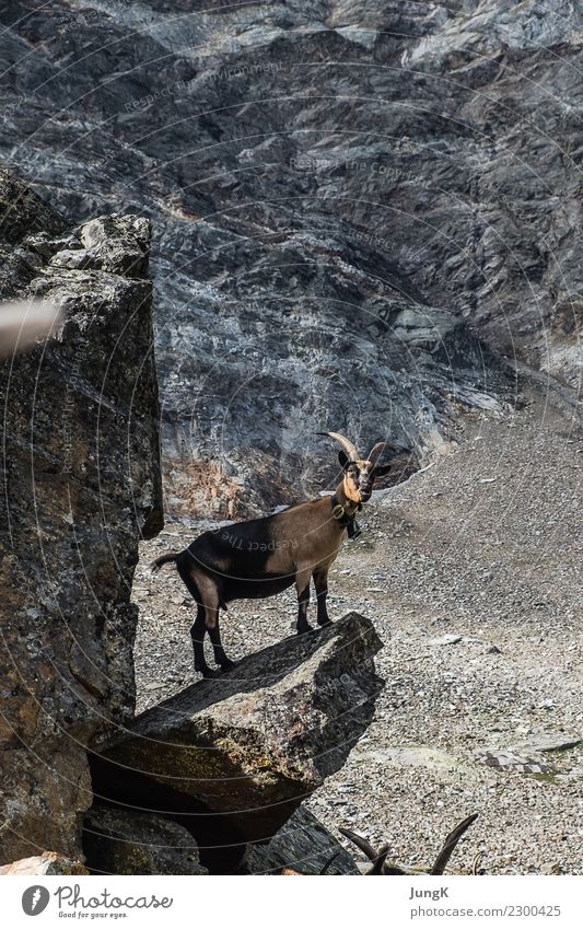 lookout Mountain Hiking Nature Landscape Rock Alps Animal goat 1 Stand Wait Simple Free Love of animals Serene Calm Curiosity Interest Adventure Loneliness